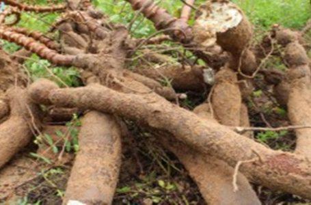 Prefeitura incentiva produção de macaxeira no povoado Barrinha